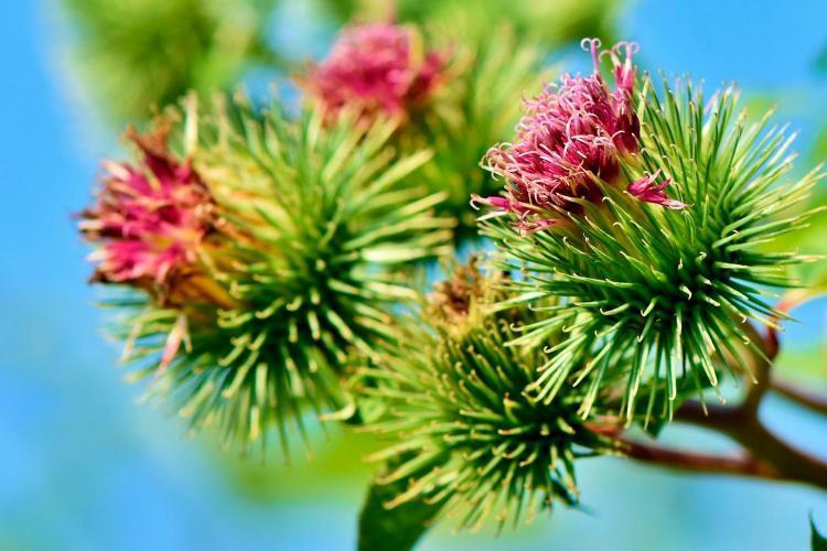 bardana fiore