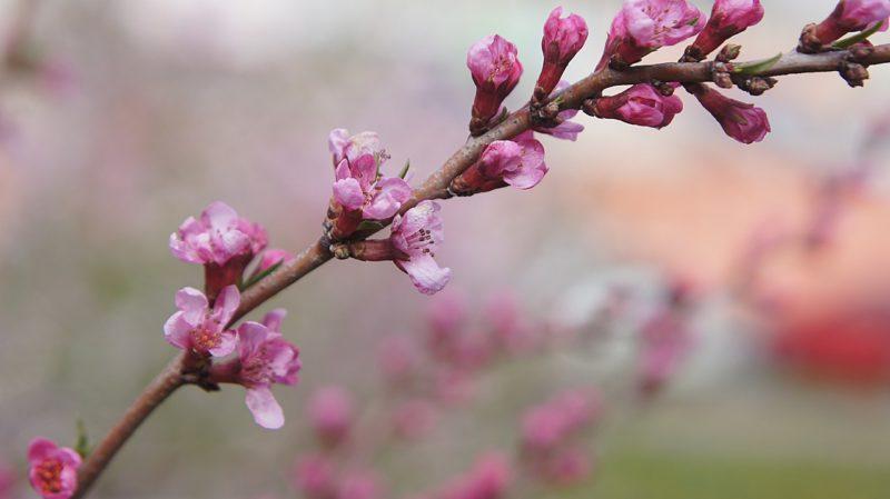 fiori di mandorlo rosa