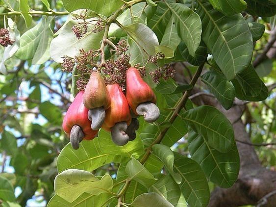 pianata anacardi con quattro frutti