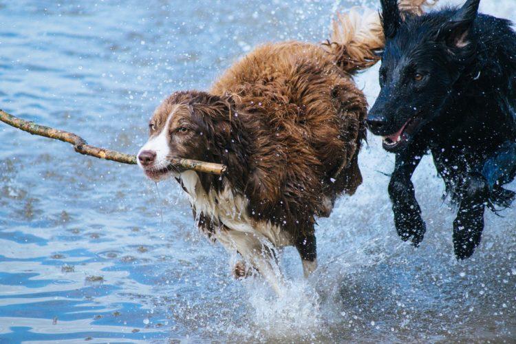 2 cani in acqua che corrono con un bastone