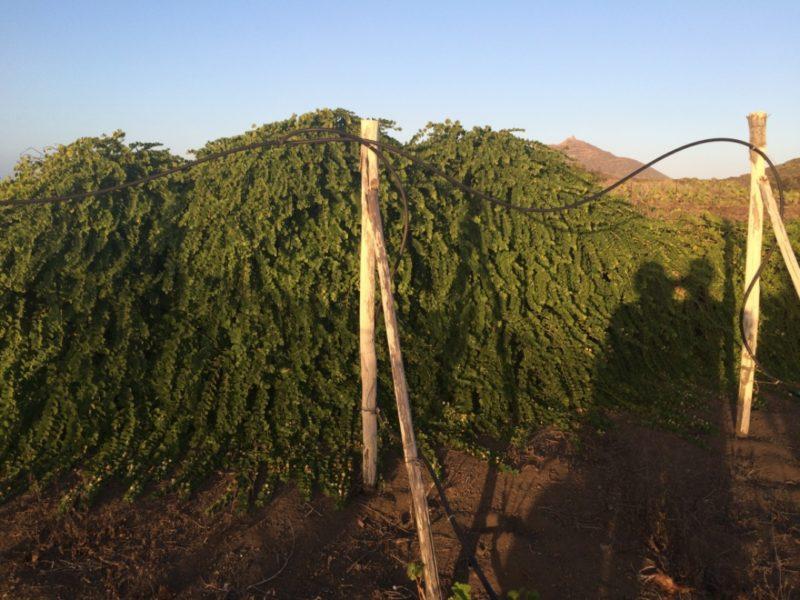 coltivazione di capperi a linosa