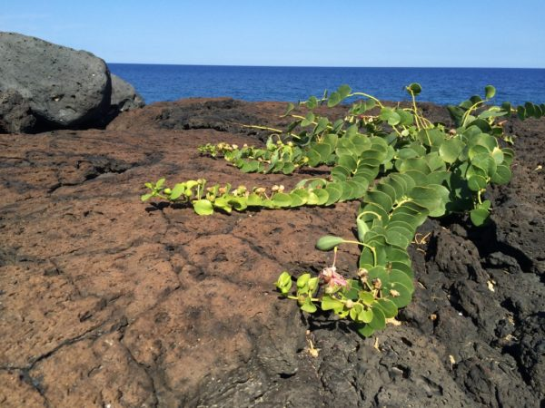 pianta di capperi in fiore su scoglio sul mare a linosa