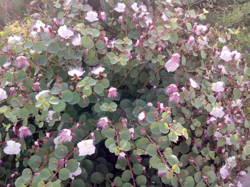 pianta di capperi con fiori rosa all'isola di linosa